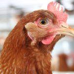 Glückliches Huhn durch VitaLuzGeflügel - Beschäftigungsmaterial der Qualitätstrocknung Nordbayern eG