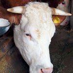 Fütterung Kühe