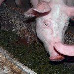 Fütterung Schwein