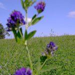 Luzerne-Pflanze