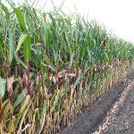 Maisfeld - Qualitätstrocknung Nordbayern eG